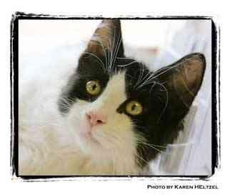 Domestic Longhair Kitten for adoption in Warren, Pennsylvania - Murphy