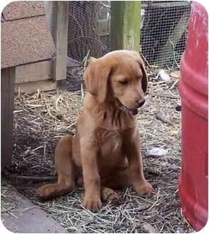 Labrador Retriever/Basset Hound Mix Puppy for adoption in McArthur, Ohio - LEVI