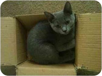 Domestic Shorthair Kitten for adoption in Newburgh, Indiana - Grayson