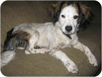Spaniel (Unknown Type) Mix Dog for adoption in Acton, California - Asa