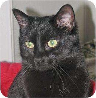Domestic Shorthair/Domestic Shorthair Mix Cat for adoption in Woodstock, Illinois - Jaguar
