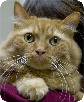 Domestic Longhair Cat for adoption in Chicago, Illinois - Shamsie