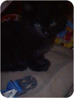 Domestic Mediumhair Kitten for adoption in Clinton, Missouri - Blackie