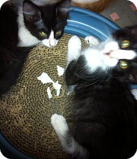 Domestic Mediumhair Kitten for adoption in Jacksonville, Florida - Pansy