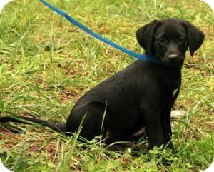 Labrador Retriever Mix Puppy for adoption in Washington, D.C. - Sara Lee ($50.00 OFF)