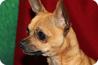 Chihuahua Mix Dog for adoption in HARRISONVILLE, Missouri - Keurig