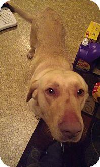 Labrador Retriever Mix Dog for adoption in Charleston, South Carolina - Gabby