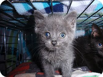 Domestic Shorthair Kitten for adoption in East Brunswick, New Jersey - Pearl