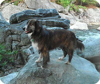English Shepherd Dog for adoption in Columbia, South Carolina - Patrick *video*