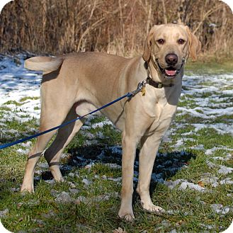 Labrador Retriever Mix Dog for adoption in Cincinnati, Ohio - Mack