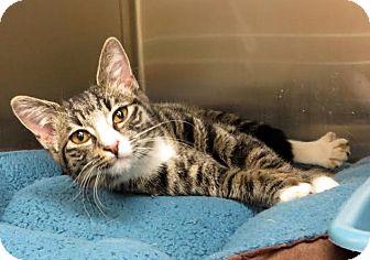 Domestic Shorthair Kitten for adoption in Middletown, New York - Chilly