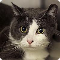 Adopt A Pet :: Phillip Earl Grey - Chicago, IL