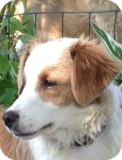 Border Collie/Sheltie, Shetland Sheepdog Mix Dog for adoption in Oliver Springs, Tennessee - Lucy