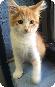 Domestic Mediumhair Kitten for adoption in Germantown, Tennessee - Griffin