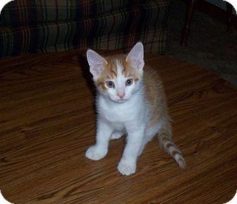 Domestic Shorthair Kitten for adoption in Parkville, Missouri - J.T.