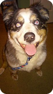 Australian Shepherd Mix Dog for adoption in Ogden, Utah - Lucy