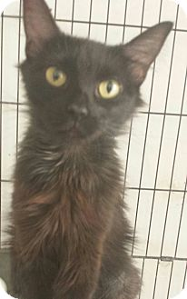 Domestic Mediumhair Cat for adoption in Chandler, Arizona - Paris