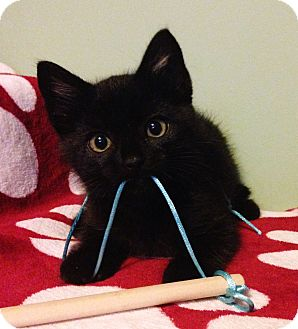 Domestic Shorthair Kitten for adoption in Saanichton, British Columbia - Ash
