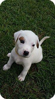 Cattle Dog/Labrador Retriever Mix Puppy for adoption in Middletown, Rhode Island - Marley