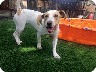 Pointer/Basset Hound Mix Dog for adoption in Raleigh, North Carolina - Layla