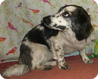 Dachshund Mix Dog for adoption in Rapid City, South Dakota - Daisy