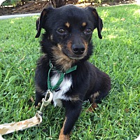 Adopt A Pet :: Pickle - Mission Viejo, CA