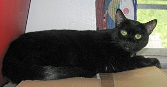 American Shorthair Cat for adoption in Rutledge, Tennessee - Lucy