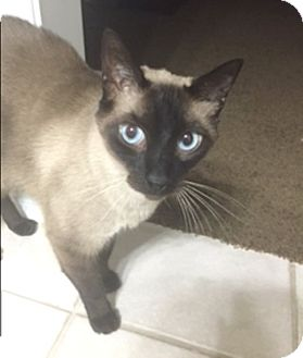 Siamese Cat for adoption in Houston, Texas - Jax