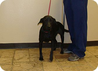 Labrador Retriever Mix Dog for adoption in Oviedo, Florida - Ebony