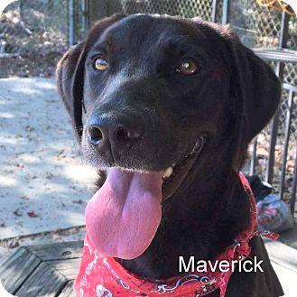 Labrador Retriever Mix Dog for adoption in Slidell, Louisiana - Maverick