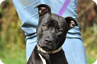 Pit Bull Terrier Mix Dog for adoption in Lisbon, Ohio - Bonnie