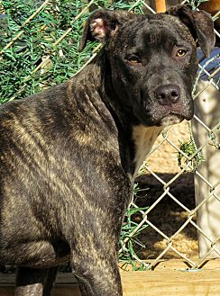 Cane Corso Mix Dog for adoption in West Babylon, New York - Sassy