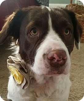 Pit Bull Terrier/English Springer Spaniel Mix Dog for adoption in Fort Wayne, Indiana - Bella