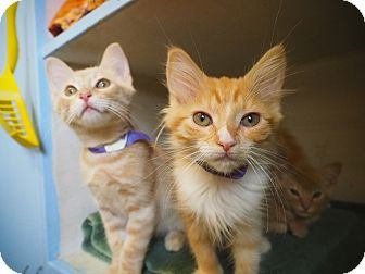 Domestic Longhair Kitten for adoption in Los Angeles, California - Cindy Lou