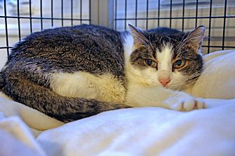 Domestic Shorthair Cat for adoption in Victor, New York - Emily