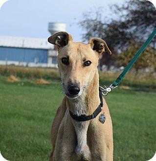 Greyhound/Coonhound (Unknown Type) Mix Dog for adoption in Westerville, Ohio - Alex