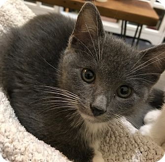 American Shorthair Kitten for adoption in Brooklyn, New York - Bunny