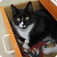 Domestic Shorthair Cat for adoption in Potsdam, New York - Shan