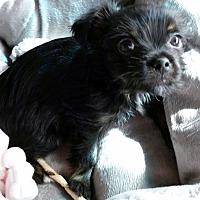 Adopt A Pet :: Sissy - Adoption Pending! - Claremont, NH