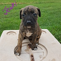 Adopt A Pet :: Jewel - Burlington, VT