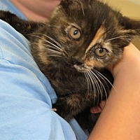 Domestic Shorthair Kitten for adoption in Indiana, Pennsylvania - Wilma