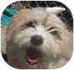 Beagle/Shih Tzu Mix Dog for adoption in Toronto, Ontario - Benji