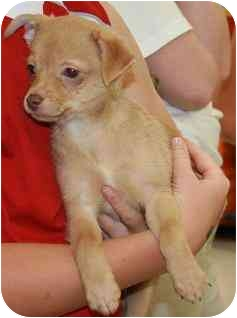 Chihuahua/Terrier (Unknown Type, Small) Mix Puppy for adoption in House Springs, Missouri - James