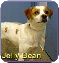 Brittany/Beagle Mix Dog for adoption in Aldie, Virginia - Jelly Bean