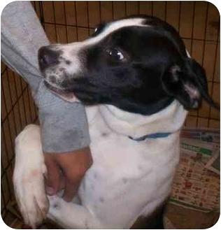 Pointer Mix Puppy for adoption in Richmond, Virginia - Virgil
