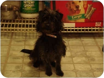 Yorkie, Yorkshire Terrier Mix Puppy for adoption in West Los Angeles, California - Princess