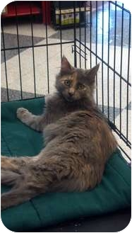 Domestic Mediumhair Cat for adoption in Phoenix, Arizona - Bella