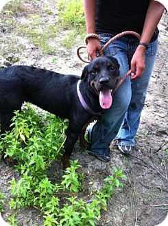 Rottweiler Dog for adoption in Kaufman, Texas - Layla