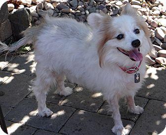 Pomeranian/Papillon Mix Dog for adoption in Salem, Oregon - Abby