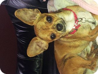 Chihuahua/Shih Tzu Mix Dog for adoption in Glastonbury, Connecticut - Arnold
